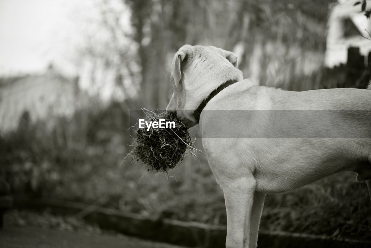 one animal, animal themes, pets, animal, domestic, domestic animals, mammal, dog, canine, vertebrate, focus on foreground, collar, no people, pet collar, day, standing, side view, nature, tree, plant, weimaraner