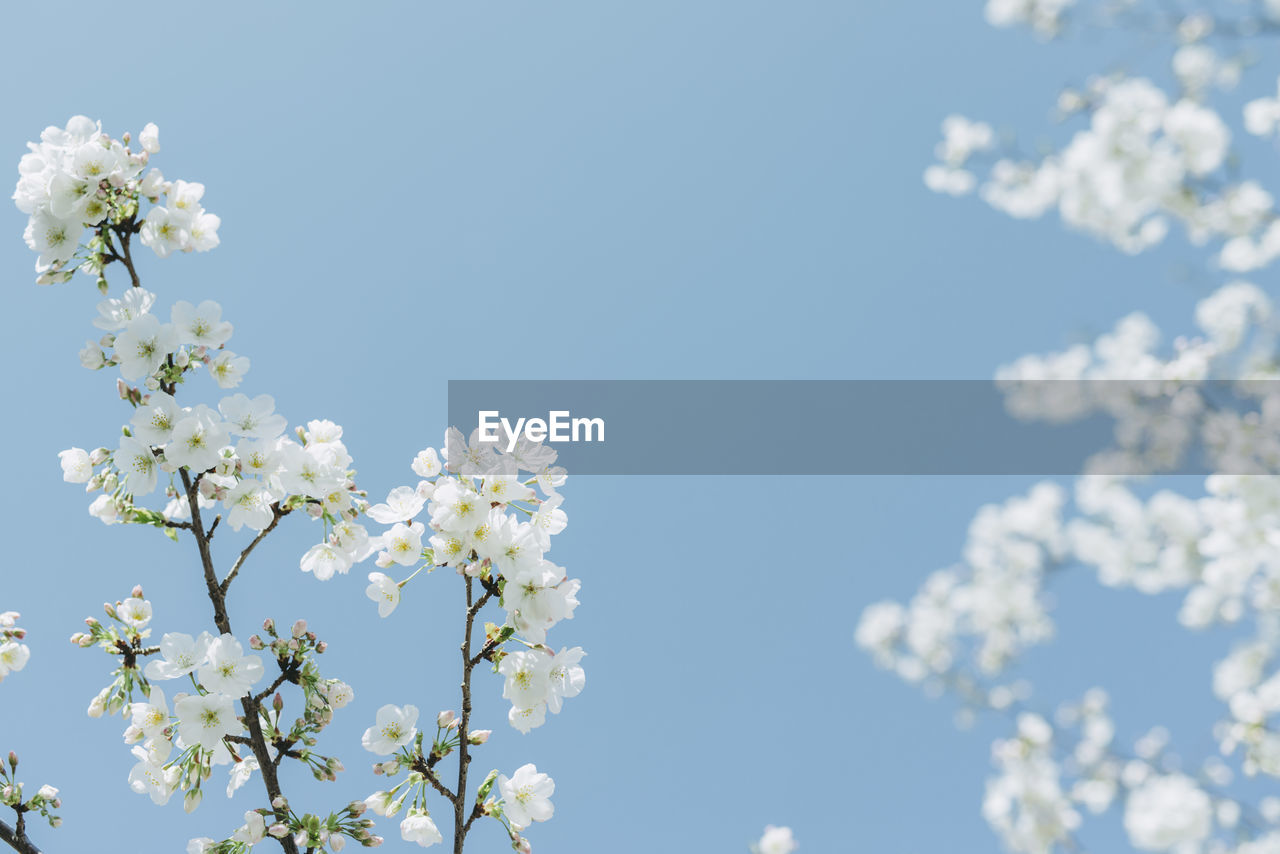 flower, blossom, fragility, beauty in nature, nature, apple blossom, springtime, growth, white color, freshness, apple tree, botany, no people, low angle view, tree, orchard, clear sky, day, branch, petal, outdoors, flower head, blooming, close-up, sky
