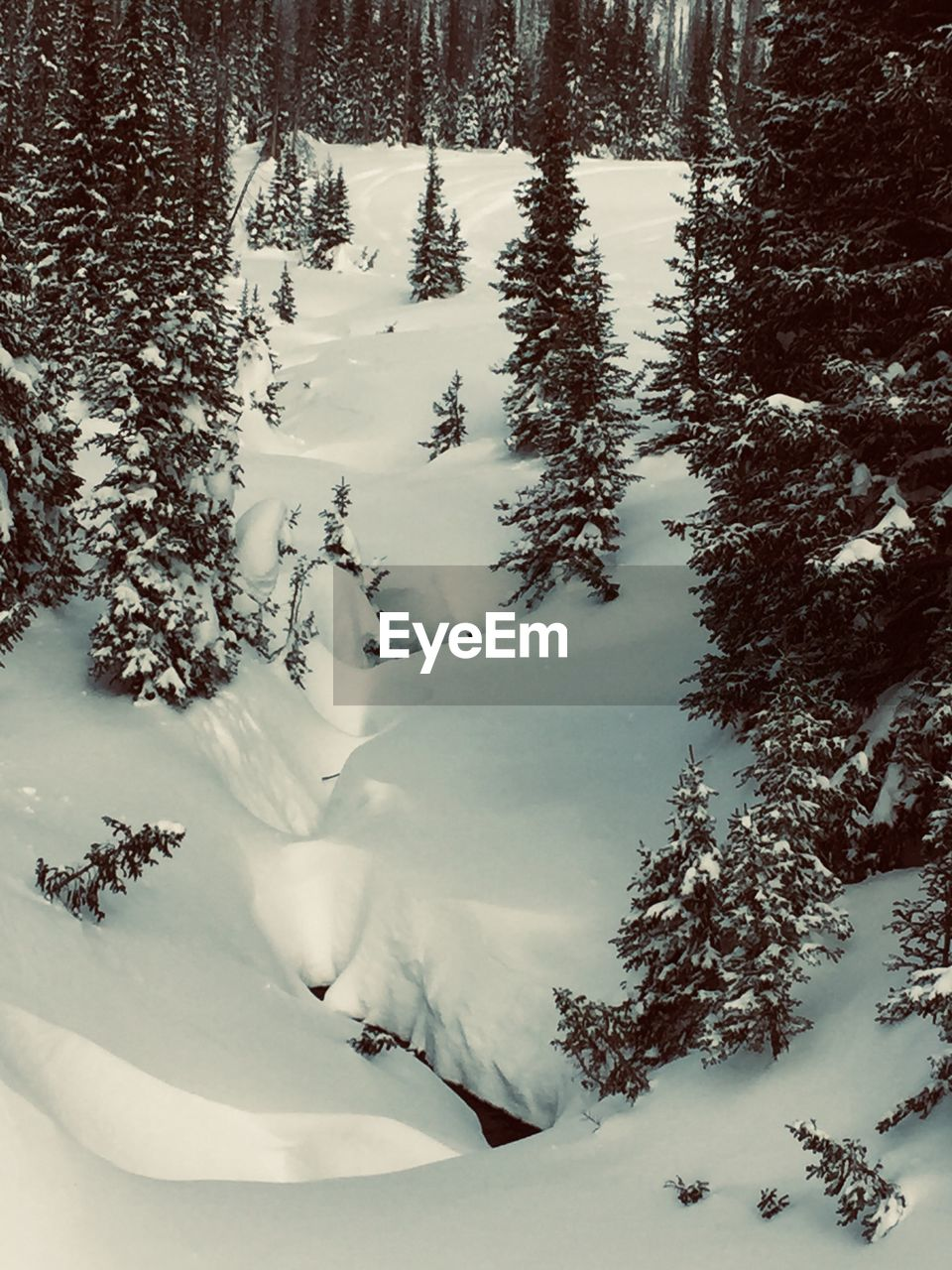winter, snow, cold temperature, tree, beauty in nature, scenics - nature, tranquility, tranquil scene, plant, land, covering, nature, no people, white color, landscape, mountain, forest, day, non-urban scene, outdoors, pine tree, coniferous tree, woodland, snowcapped mountain, powder snow