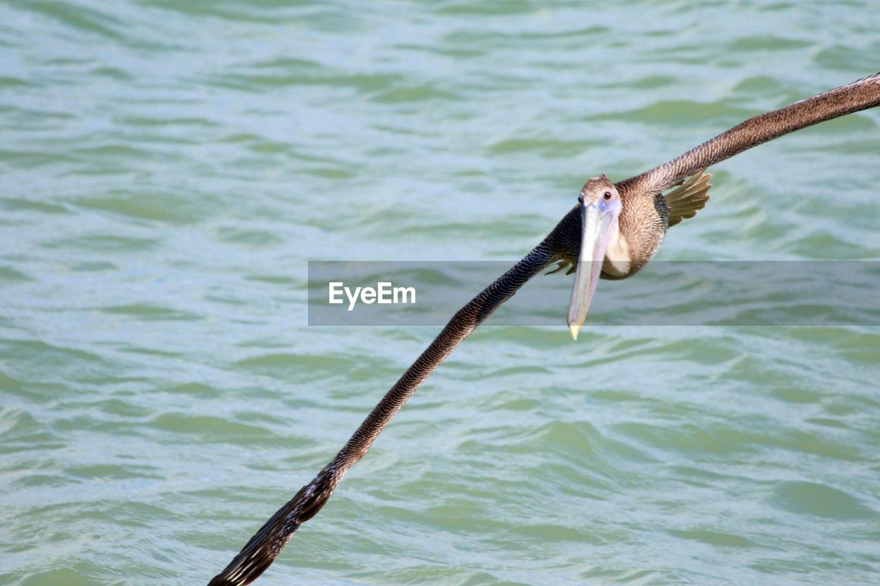 one animal, vertebrate, animal themes, animal, water, animals in the wild, animal wildlife, bird, waterfront, nature, day, no people, focus on foreground, pelican, outdoors, sea, close-up, rippled, stick - plant part