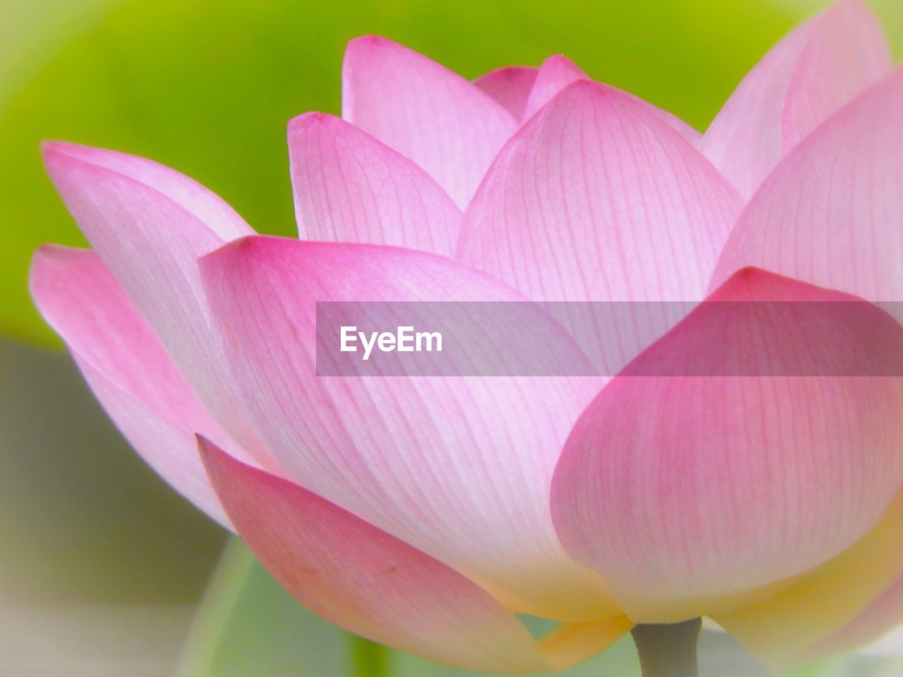 flowering plant, flower, beauty in nature, vulnerability, plant, petal, fragility, close-up, freshness, pink color, inflorescence, flower head, growth, nature, no people, water lily, lotus water lily, day, focus on foreground, outdoors, softness