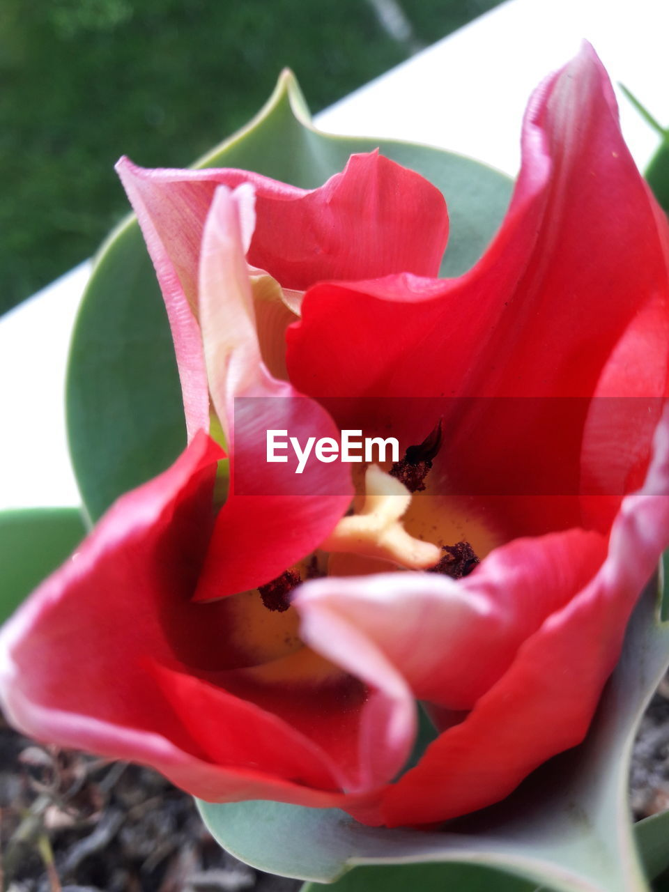 flower, petal, nature, fragility, growth, beauty in nature, freshness, flower head, plant, blooming, rose - flower, no people, outdoors, red, close-up, day