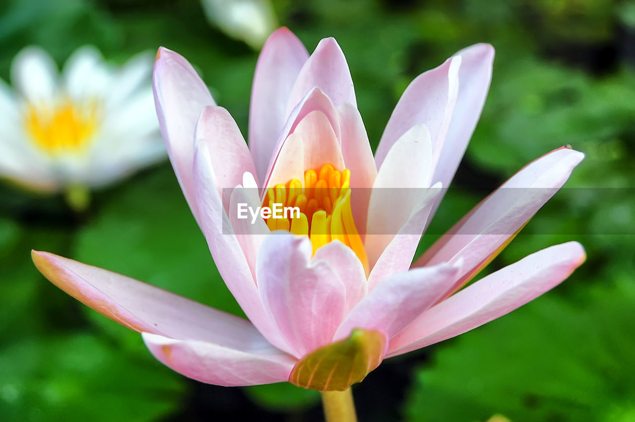 flowering plant, flower, vulnerability, fragility, petal, freshness, beauty in nature, plant, growth, close-up, flower head, inflorescence, nature, day, no people, pollen, focus on foreground, water lily, botany, crocus