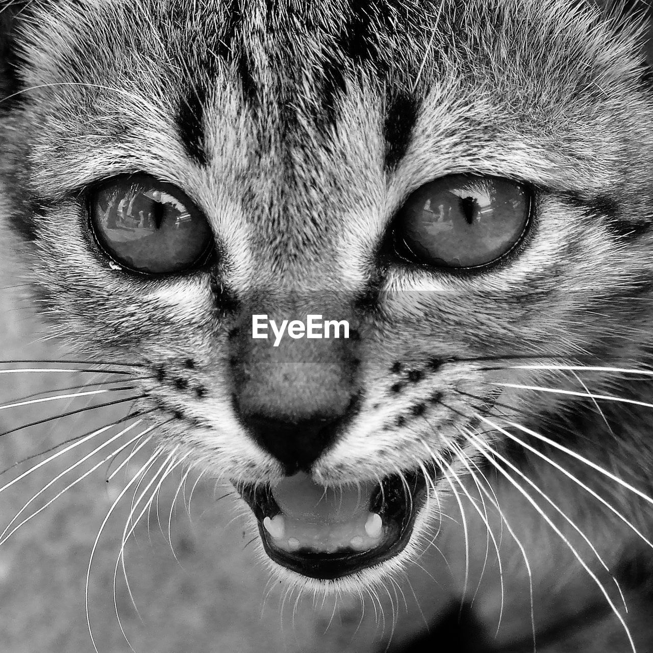 cat, feline, animal themes, one animal, mammal, animal, whisker, domestic cat, close-up, domestic animals, pets, animal body part, domestic, aggression, anger, vertebrate, mouth open, no people, mouth, negative emotion, animal head, animal mouth, animal eye, snout, tabby