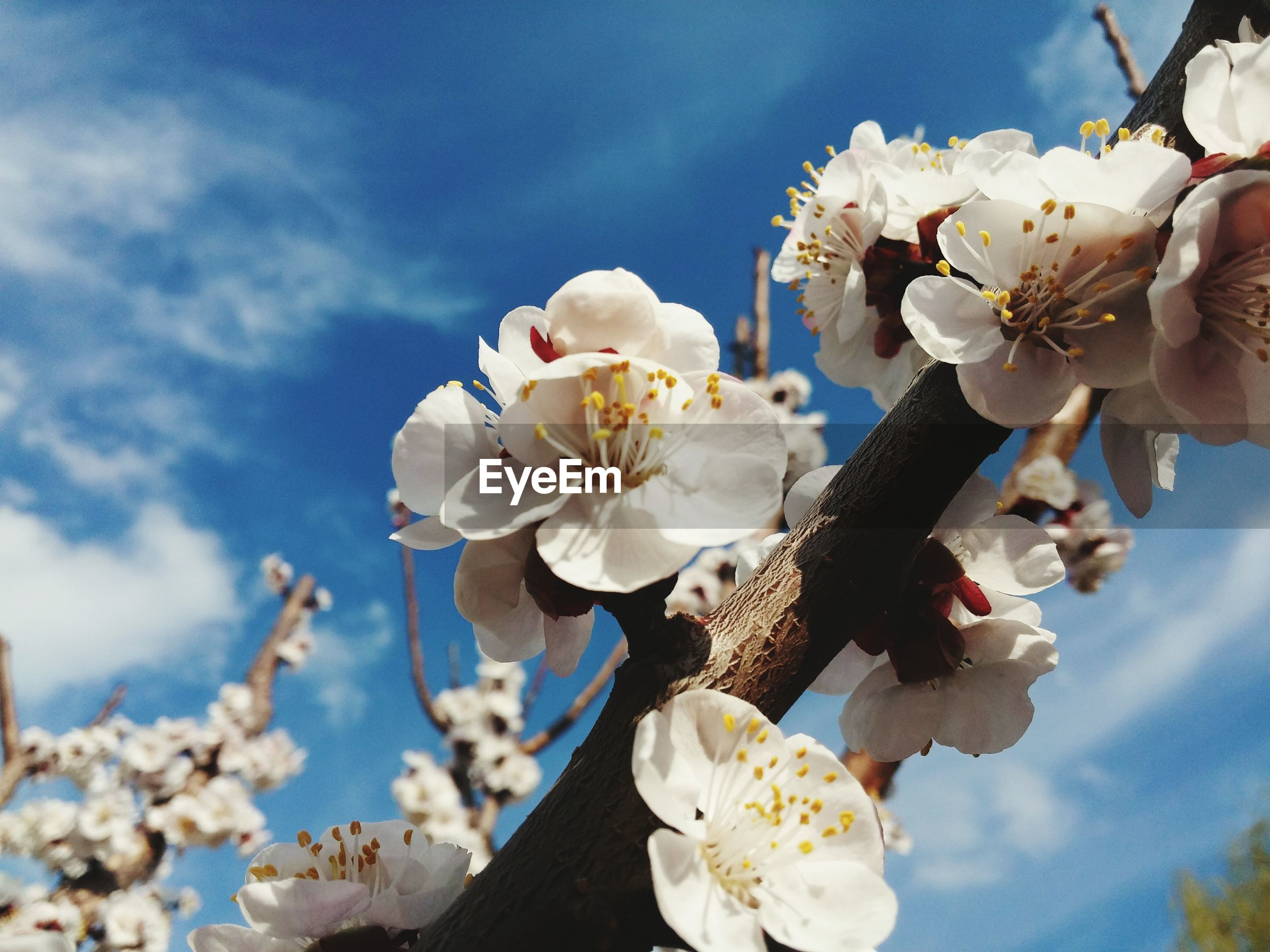 Low angle view of apple blossoms in spring against sky