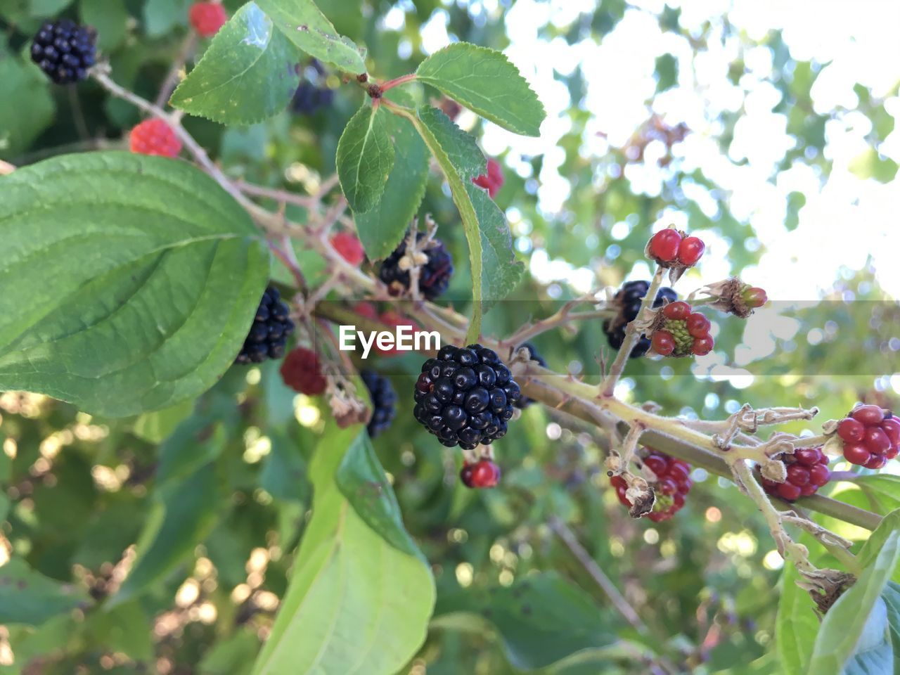 fruit, freshness, food and drink, growth, leaf, nature, blackberry, tree, outdoors, plant, day, no people, close-up, focus on foreground, beauty in nature, food, healthy eating, fragility