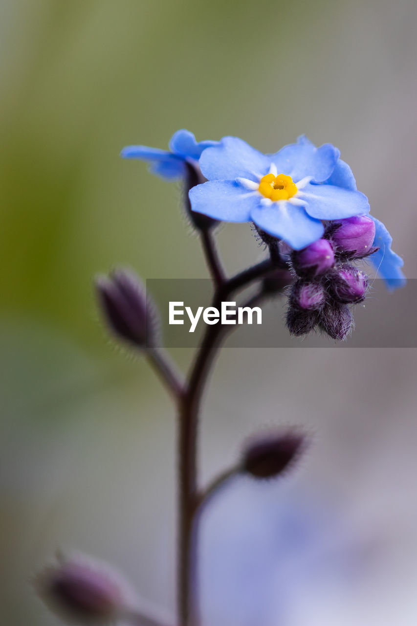 flowering plant, flower, plant, fragility, vulnerability, beauty in nature, close-up, freshness, growth, petal, inflorescence, flower head, purple, nature, plant stem, focus on foreground, no people, selective focus, day, botany, springtime, softness, sepal