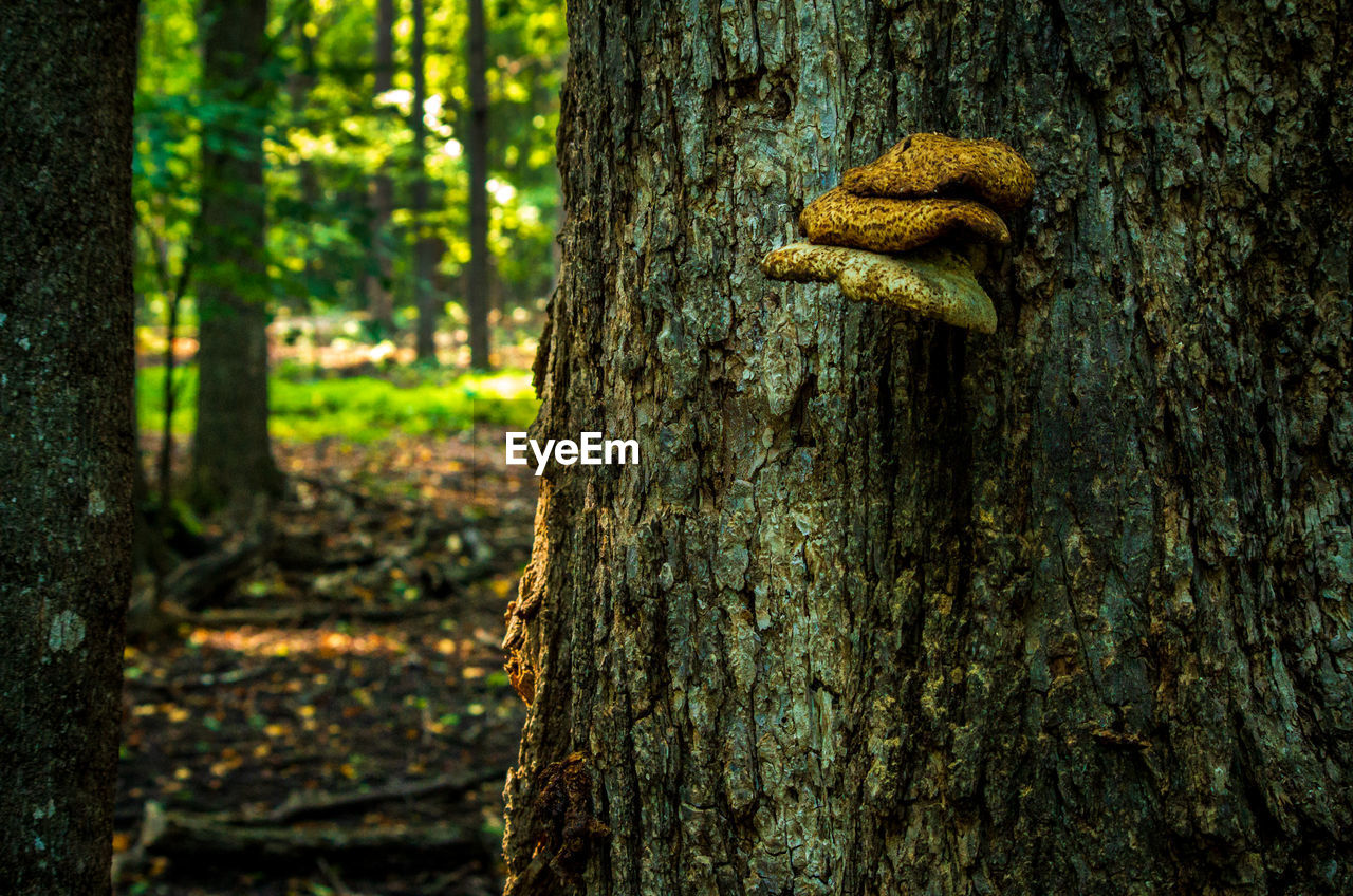 tree, trunk, tree trunk, plant, forest, land, focus on foreground, nature, day, outdoors, no people, close-up, growth, fungus, beauty in nature, textured, mushroom, woodland, plant bark, brown, bark