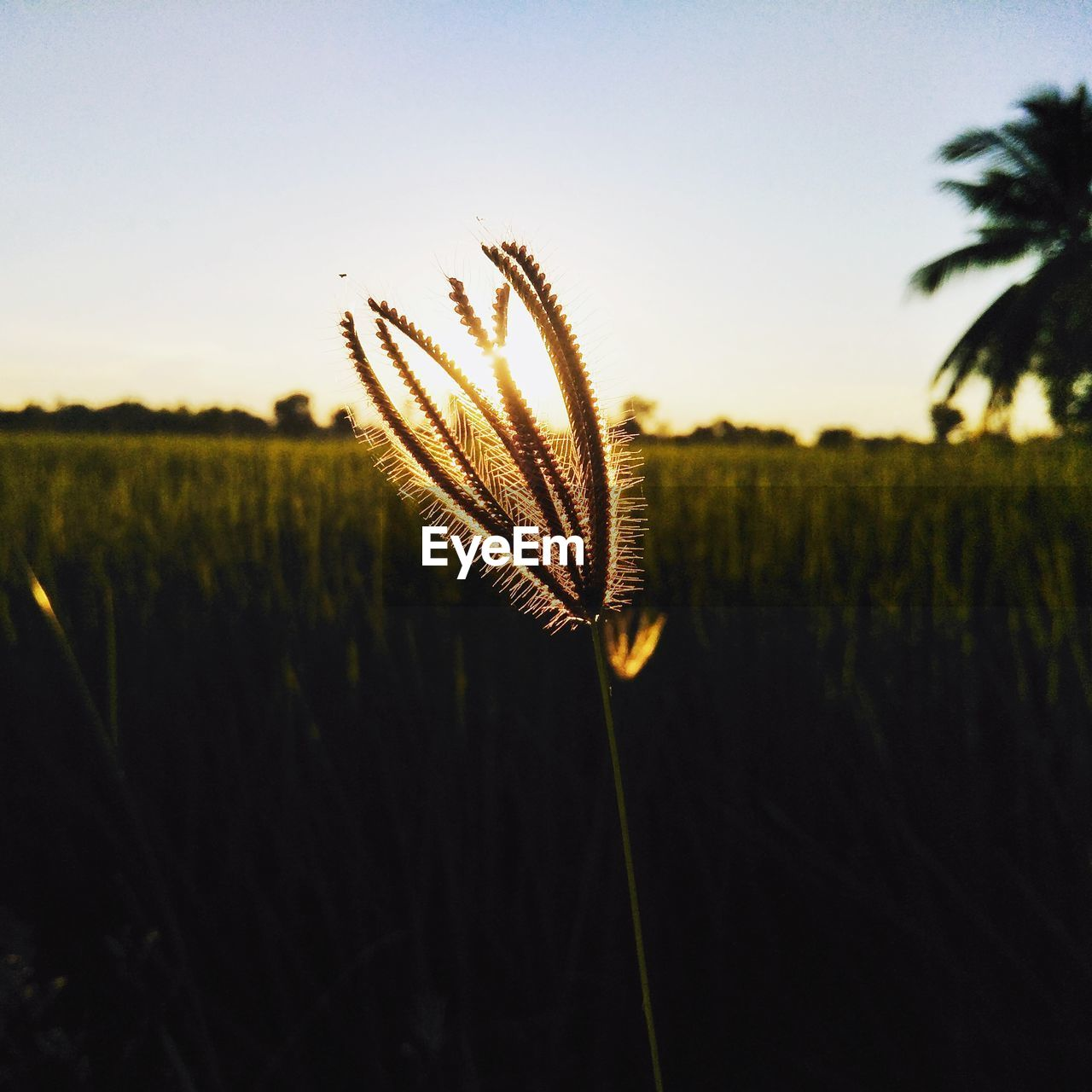 growth, plant, beauty in nature, sky, nature, field, focus on foreground, no people, tranquility, close-up, land, tranquil scene, outdoors, sunset, scenics - nature, agriculture, day, landscape, environment, plant stem, stalk