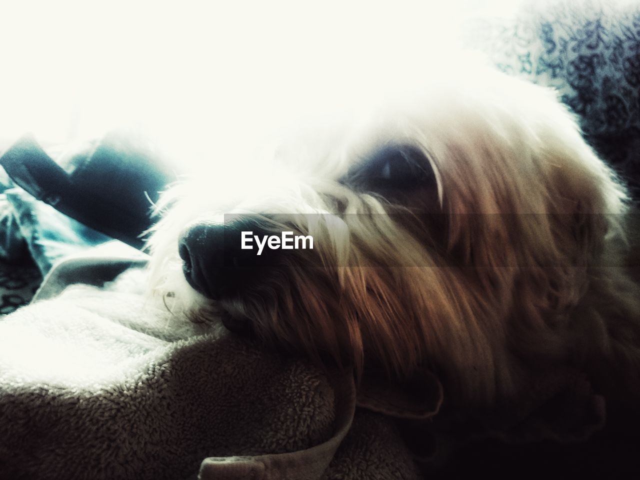 domestic animals, pets, dog, one animal, mammal, animal themes, close-up, indoors, no people, day