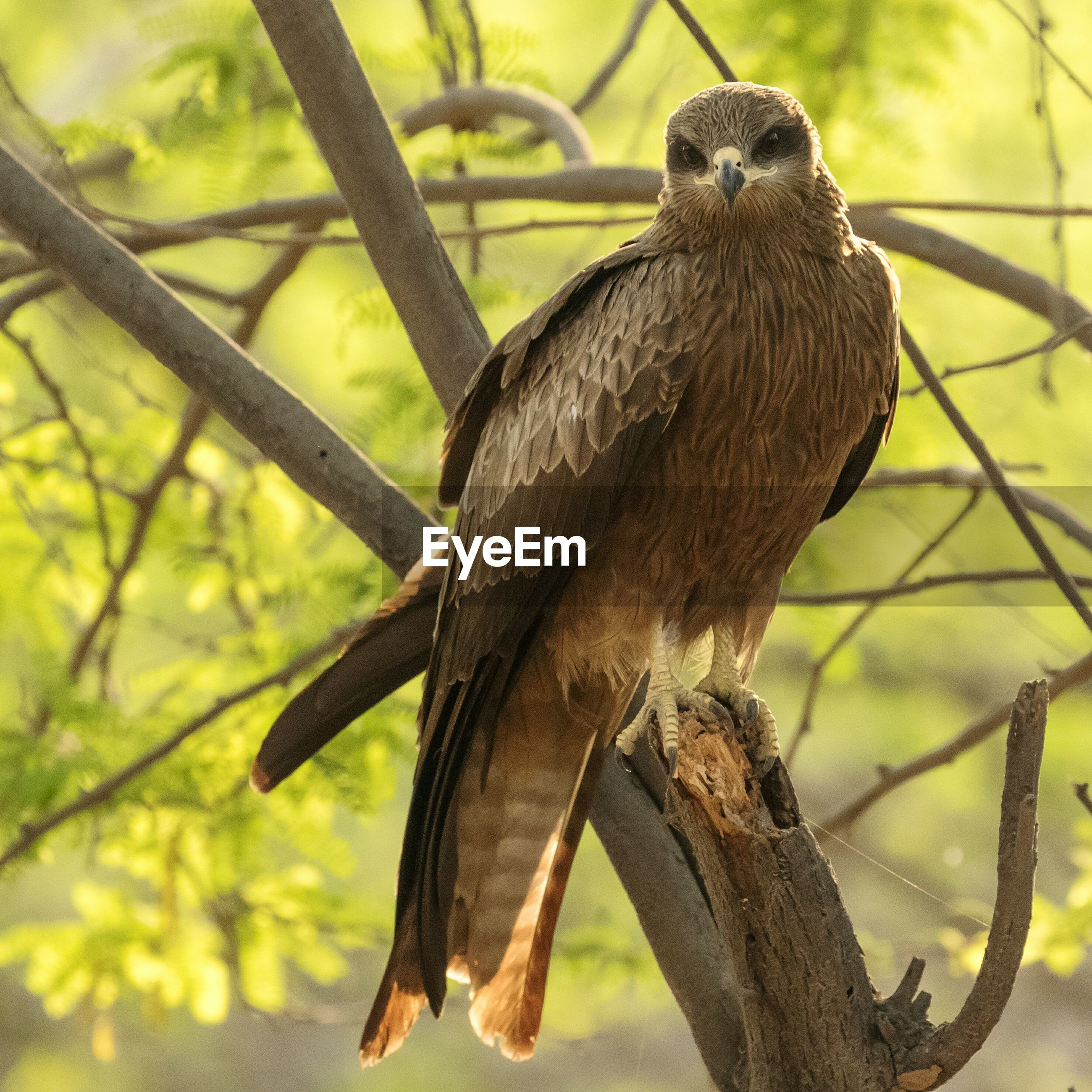 Black kite perching on tree