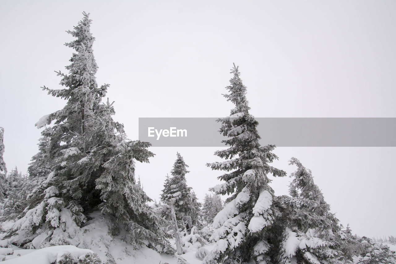tree, plant, winter, snow, sky, cold temperature, tranquility, beauty in nature, clear sky, nature, day, growth, tranquil scene, scenics - nature, no people, pine tree, low angle view, coniferous tree, covering, outdoors, fir tree