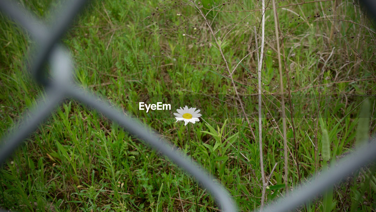plant, flower, flowering plant, growth, fragility, vulnerability, freshness, beauty in nature, fence, field, land, no people, selective focus, nature, barrier, day, grass, close-up, petal, boundary, flower head, outdoors, small, blade of grass