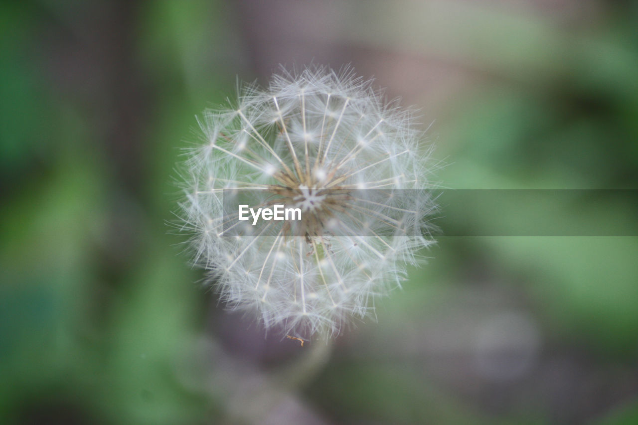 dandelion, flower, fragility, nature, growth, focus on foreground, close-up, plant, freshness, flower head, softness, beauty in nature, wildflower, uncultivated, day, outdoors, no people, springtime