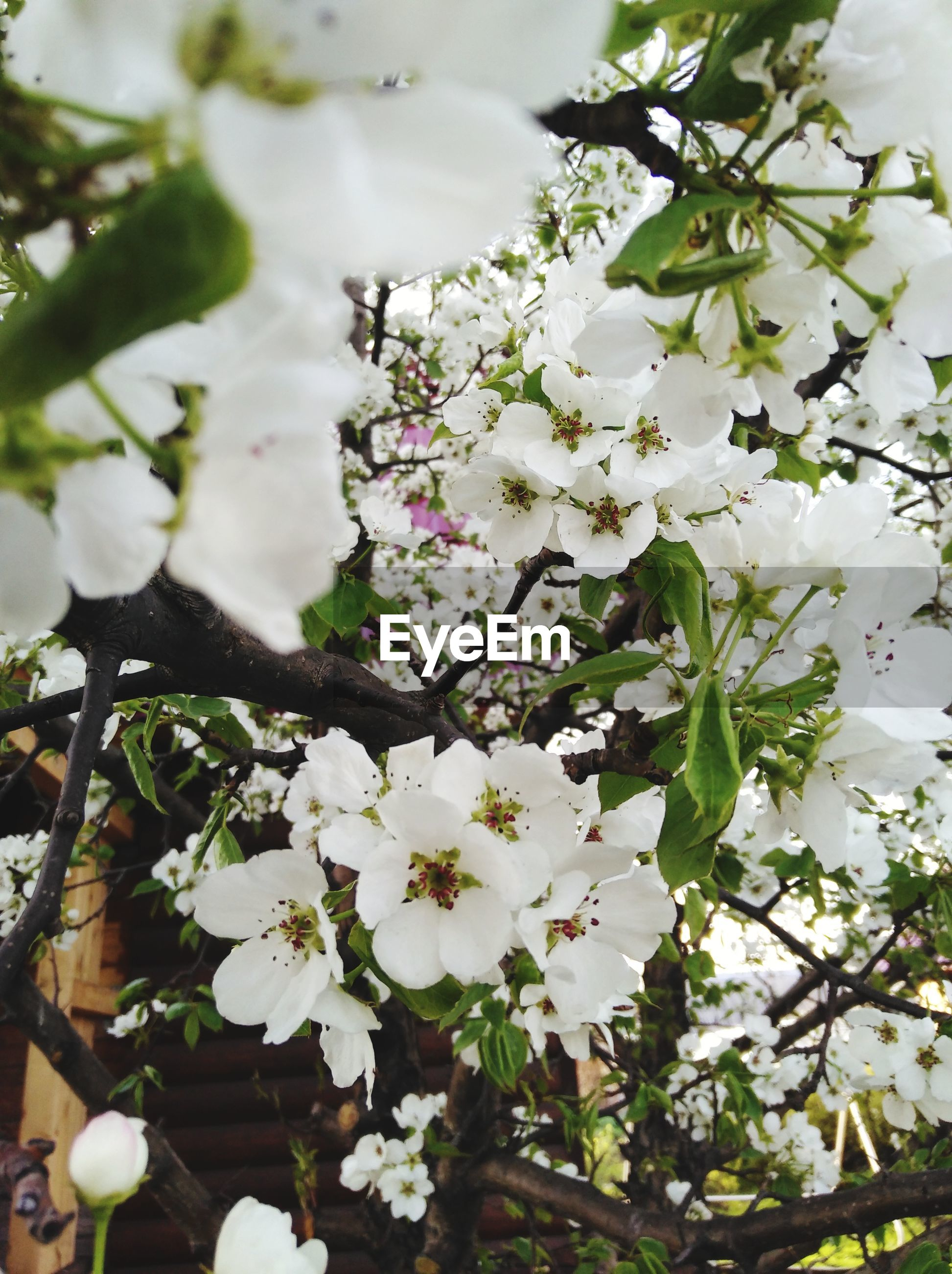 flower, white color, fragility, beauty in nature, freshness, blossom, branch, nature, apple blossom, apple tree, growth, tree, springtime, botany, twig, no people, close-up, day, petal, outdoors, scented, flower head