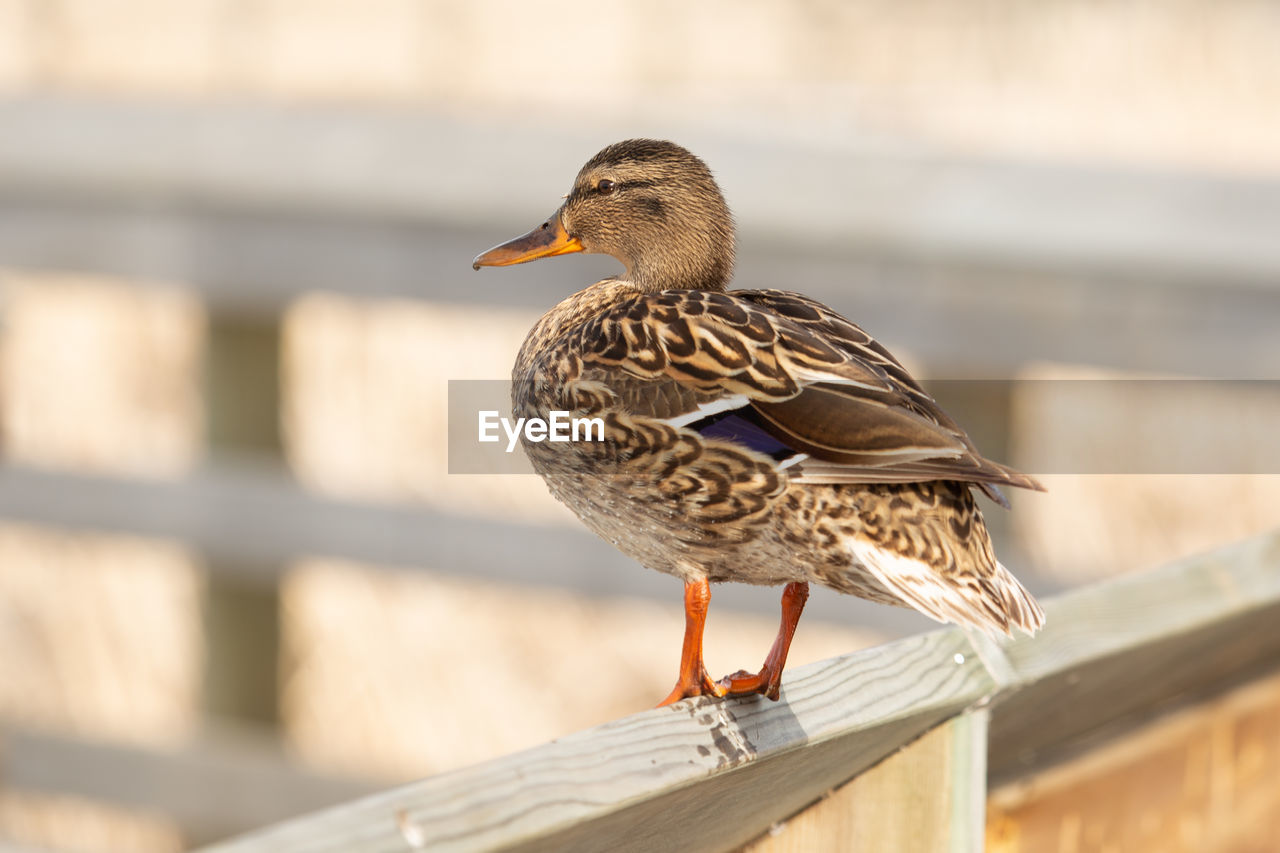 Duck perching on a railing