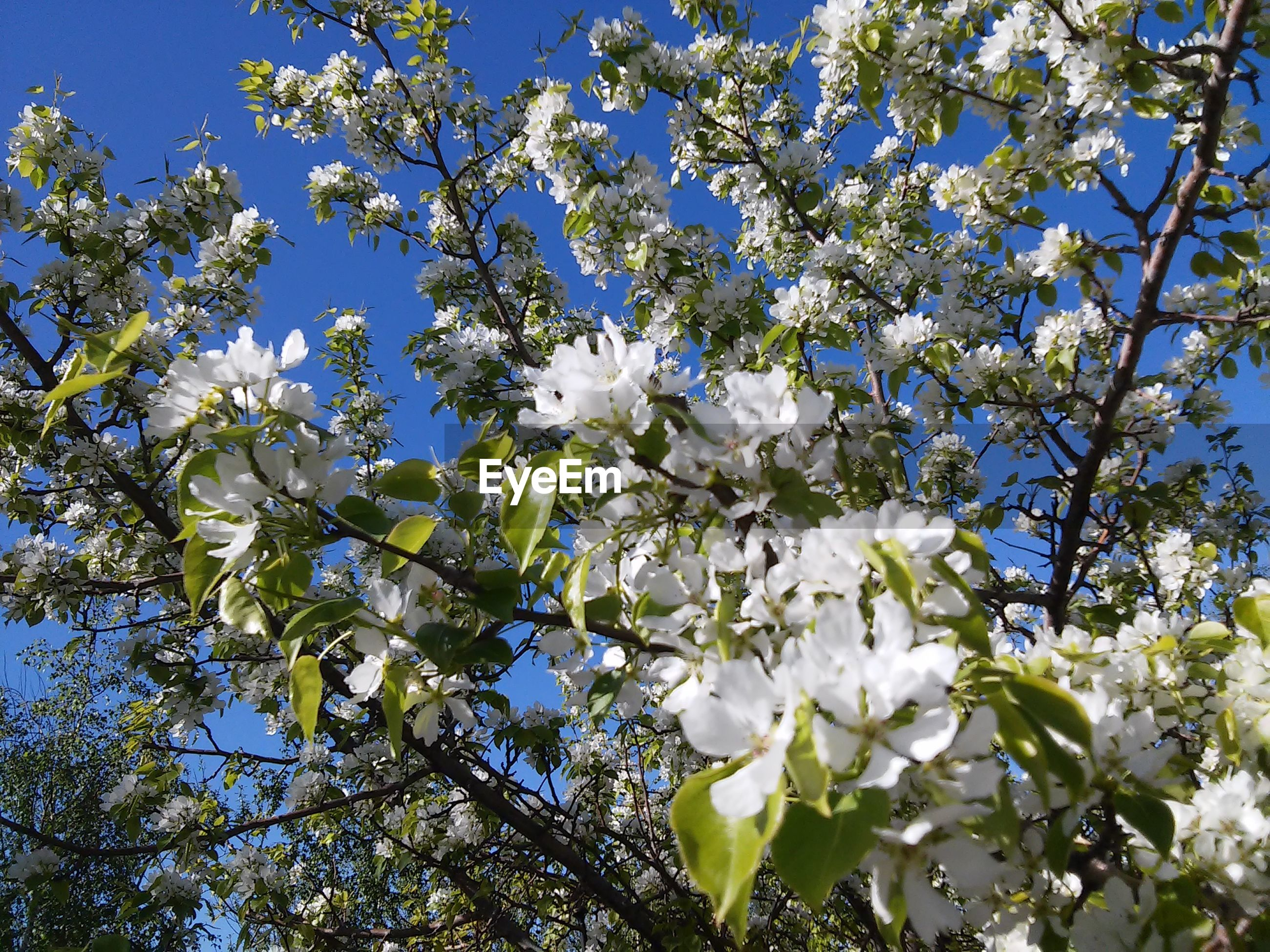 flower, blossom, fragility, tree, growth, white color, springtime, nature, apple blossom, beauty in nature, branch, apple tree, botany, freshness, orchard, no people, petal, low angle view, twig, spring, backgrounds, day, blooming, outdoors, close-up, flower head