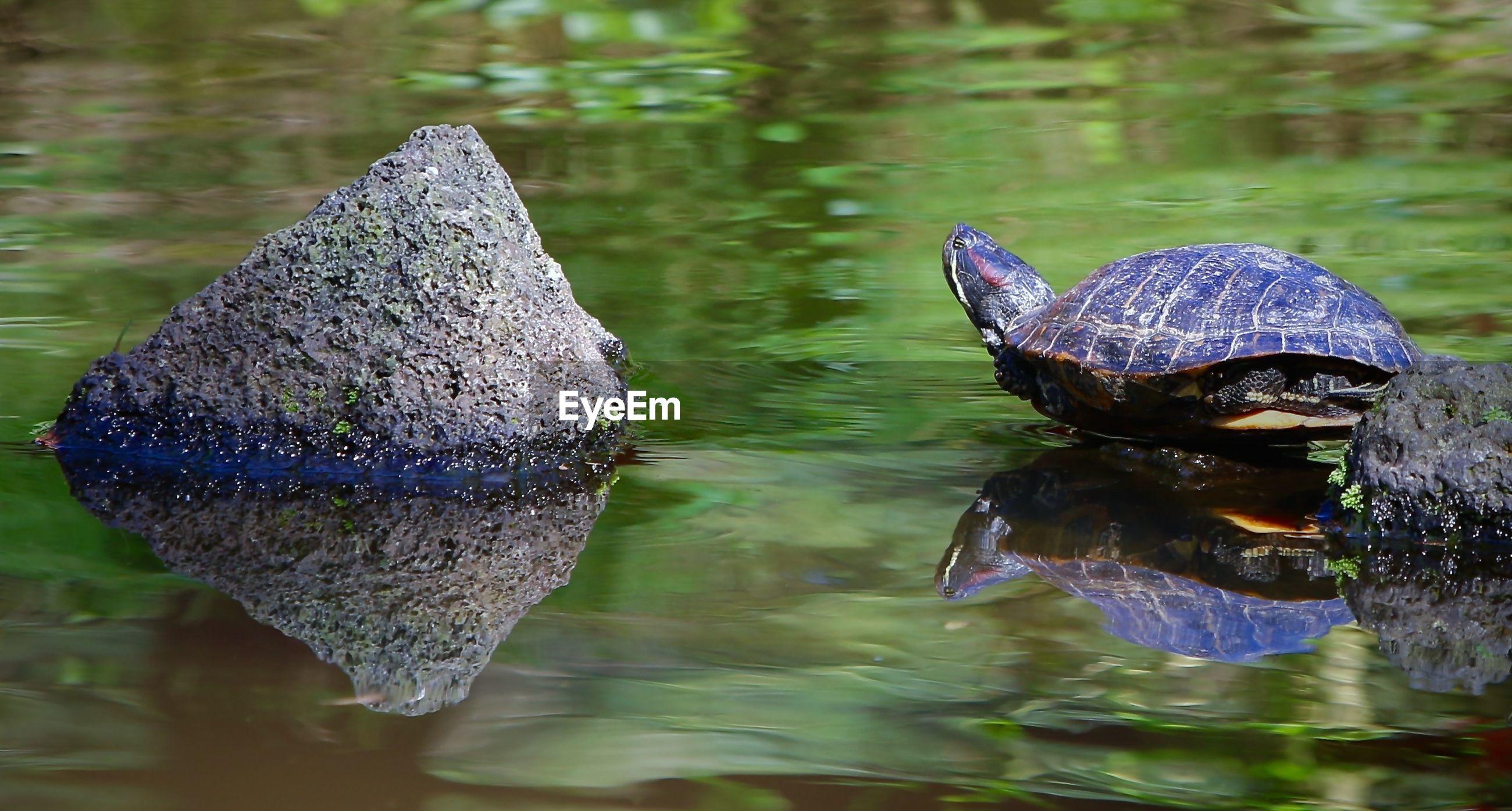 Turtle in pond by rocks