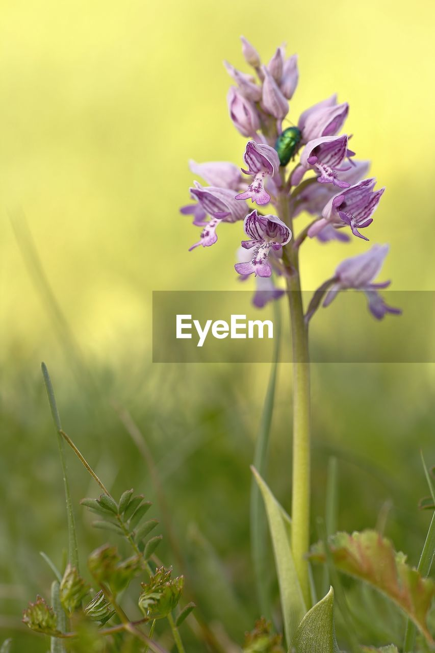 plant, flowering plant, flower, growth, beauty in nature, close-up, fragility, vulnerability, freshness, nature, selective focus, petal, no people, focus on foreground, day, outdoors, flower head, plant stem, inflorescence, purple, sepal