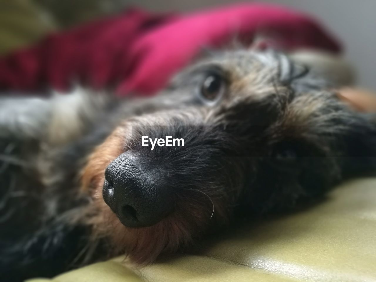 Close-Up Portrait Of Dachshund Lying On Sofa