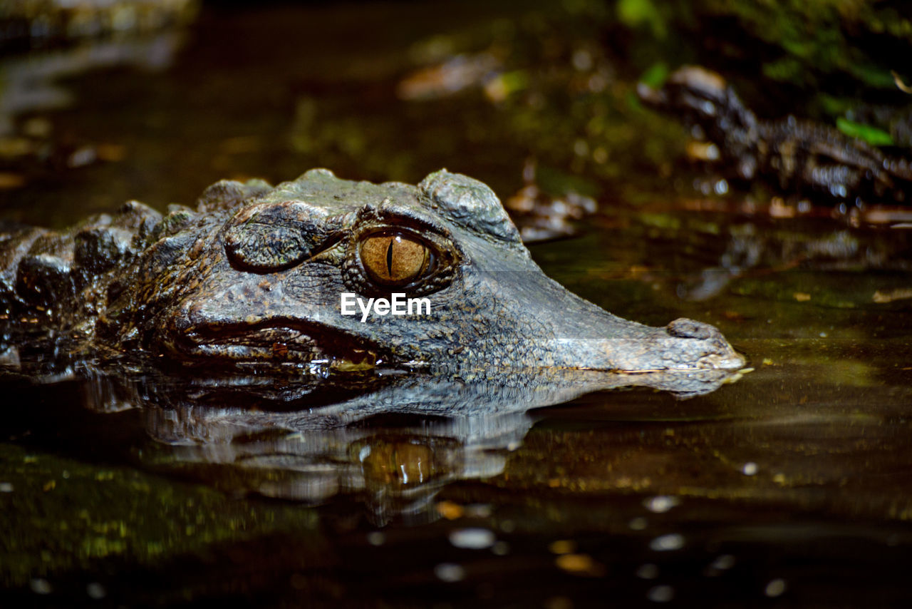 water, one animal, animal themes, animals in the wild, no people, reflection, animal wildlife, waterfront, outdoors, close-up, day, nature, reptile, alligator