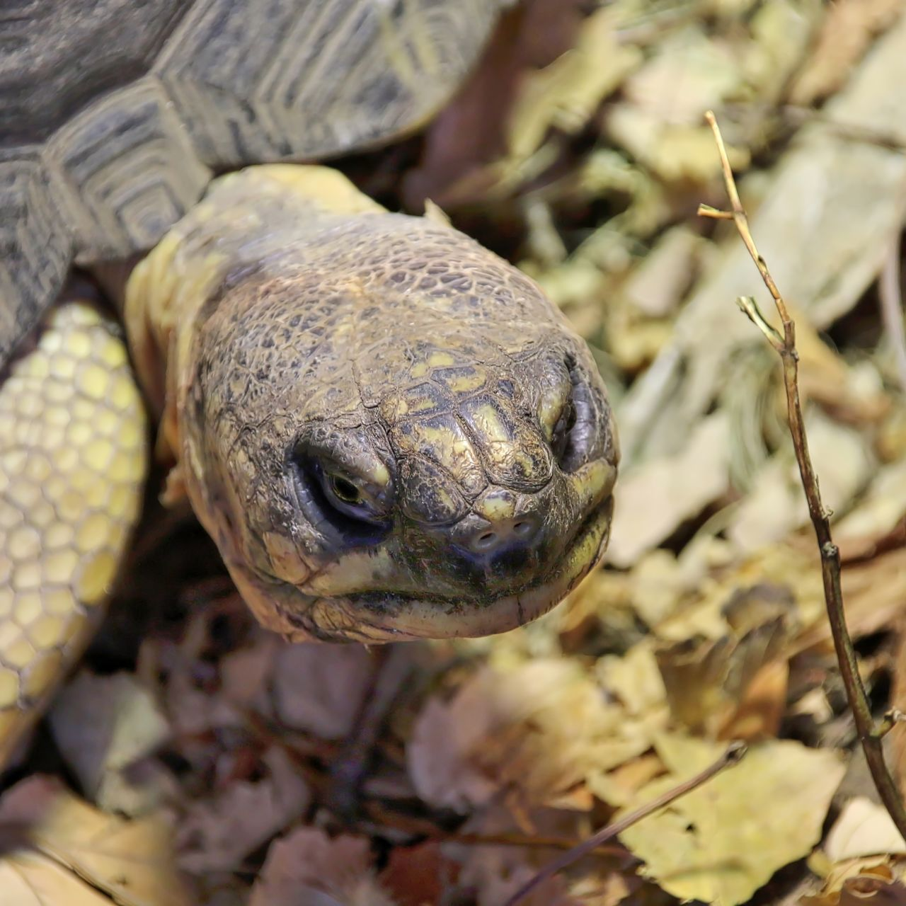 one animal, animal themes, animals in the wild, close-up, reptile, day, outdoors, animal wildlife, no people, focus on foreground, nature, leaf, tortoise, tortoise shell