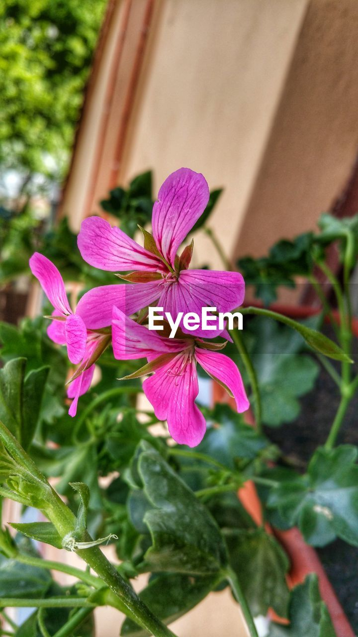 growth, fragility, flower, petal, freshness, plant, day, beauty in nature, nature, outdoors, flower head, leaf, focus on foreground, no people, close-up, blooming, periwinkle, petunia