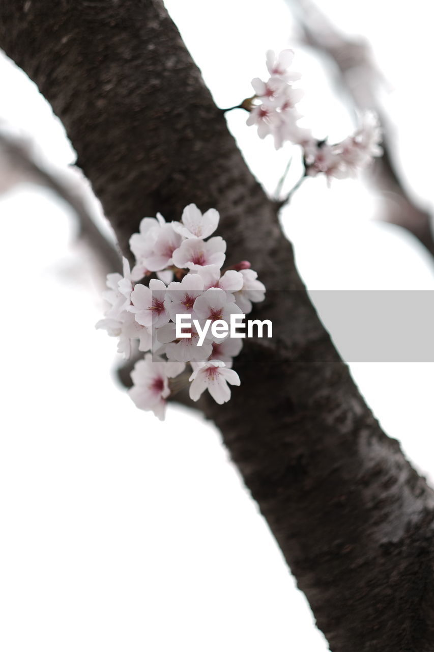 flower, tree, white color, growth, fragility, nature, branch, beauty in nature, freshness, blossom, petal, springtime, close-up, outdoors, day, no people, flower head