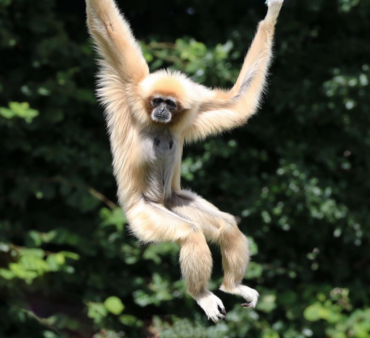 White Handed Gibbon Against Blurred Background