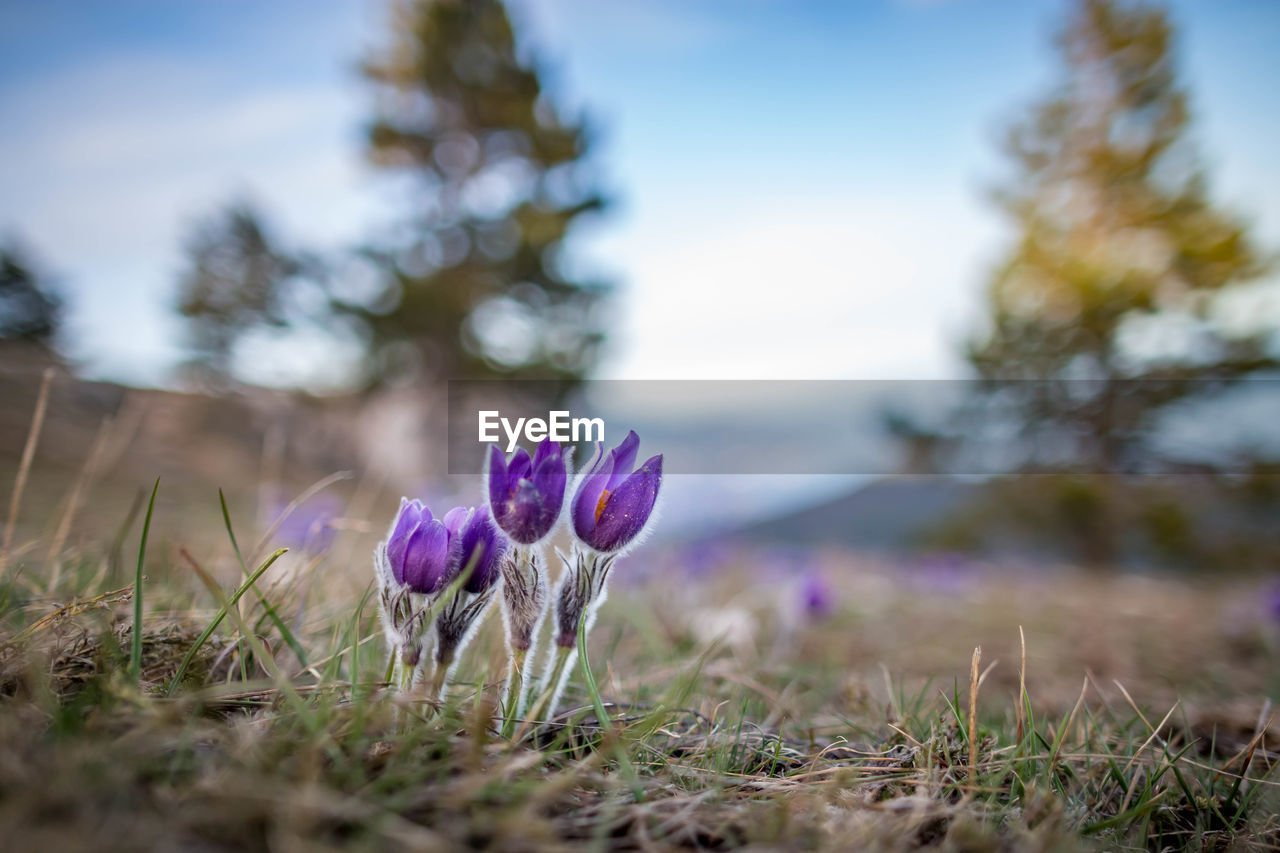 flower, plant, flowering plant, growth, beauty in nature, field, land, freshness, vulnerability, close-up, nature, fragility, selective focus, no people, purple, day, focus on foreground, sky, inflorescence, petal, flower head, crocus, iris, outdoors