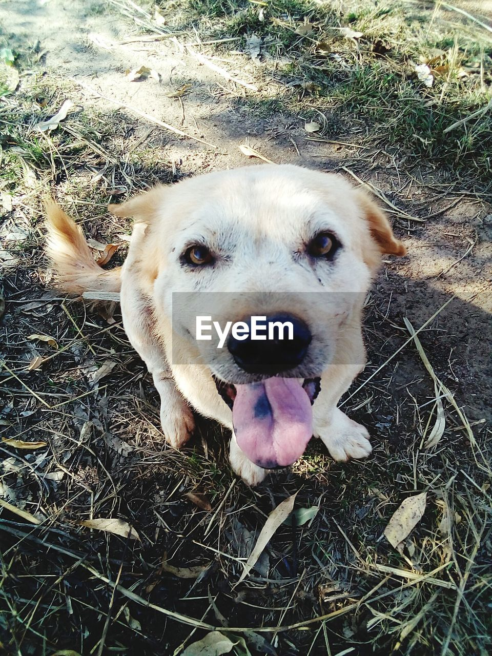 dog, one animal, animal themes, pets, mammal, domestic animals, looking at camera, grass, mouth open, high angle view, portrait, day, field, outdoors, no people, close-up, nature