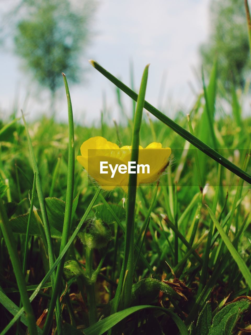 plant, flowering plant, growth, freshness, beauty in nature, flower, fragility, vulnerability, yellow, green color, close-up, petal, field, nature, land, day, grass, inflorescence, flower head, selective focus, no people, outdoors, blade of grass, crocus
