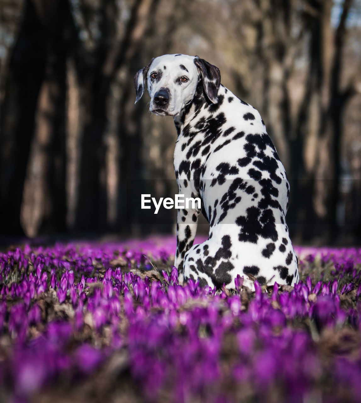 one animal, dog, animal themes, canine, animal, pets, plant, mammal, domestic animals, domestic, dalmatian dog, flowering plant, selective focus, purple, flower, vertebrate, spotted, nature, no people, day, outdoors, purebred dog