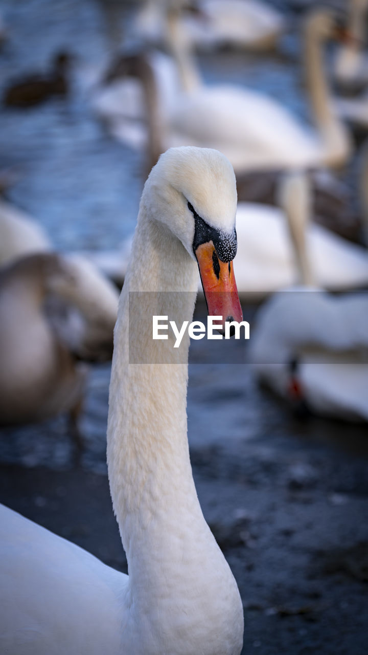 vertebrate, animals in the wild, animal, bird, animal themes, animal wildlife, swan, one animal, lake, focus on foreground, water, water bird, day, mute swan, swimming, animal body part, close-up, nature, no people, beak, animal neck, animal head, cygnet