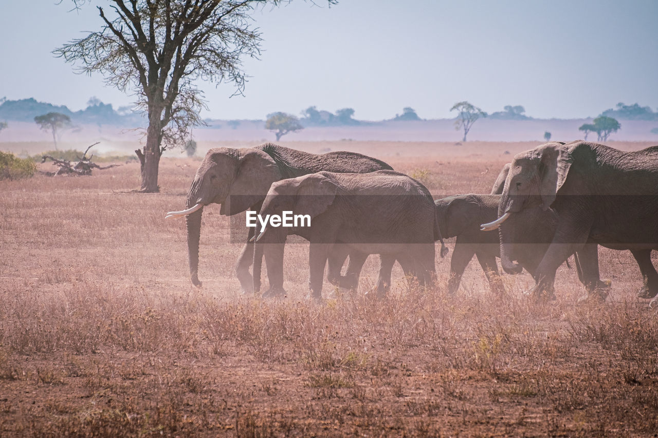 A herd of elephants in the serengeti