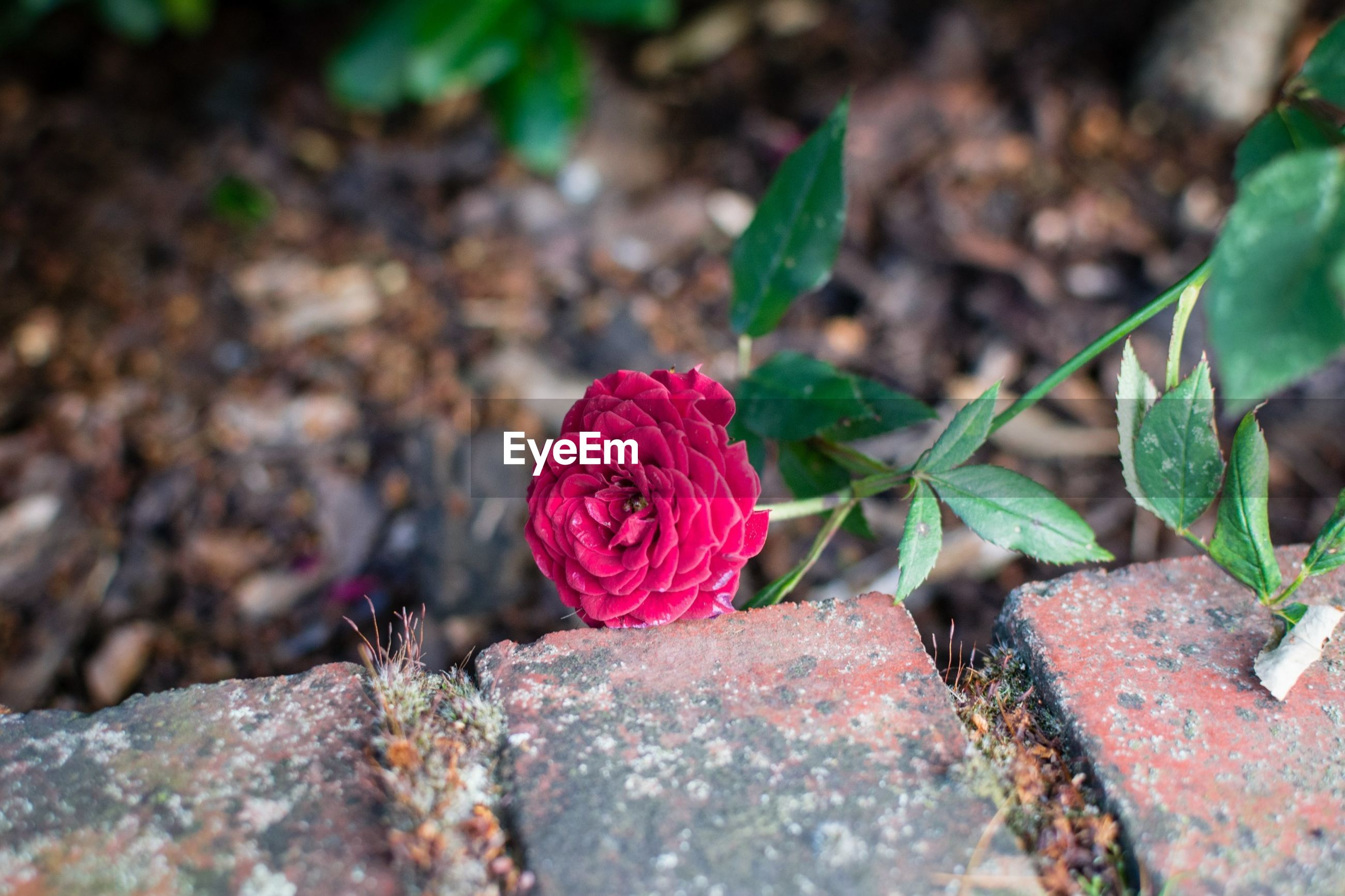 rock - object, close-up, growth, flower, selective focus, red, plant, nature, stone - object, fragility, leaf, focus on foreground, stone, pink color, beauty in nature, petal, outdoors, day, freshness, textured