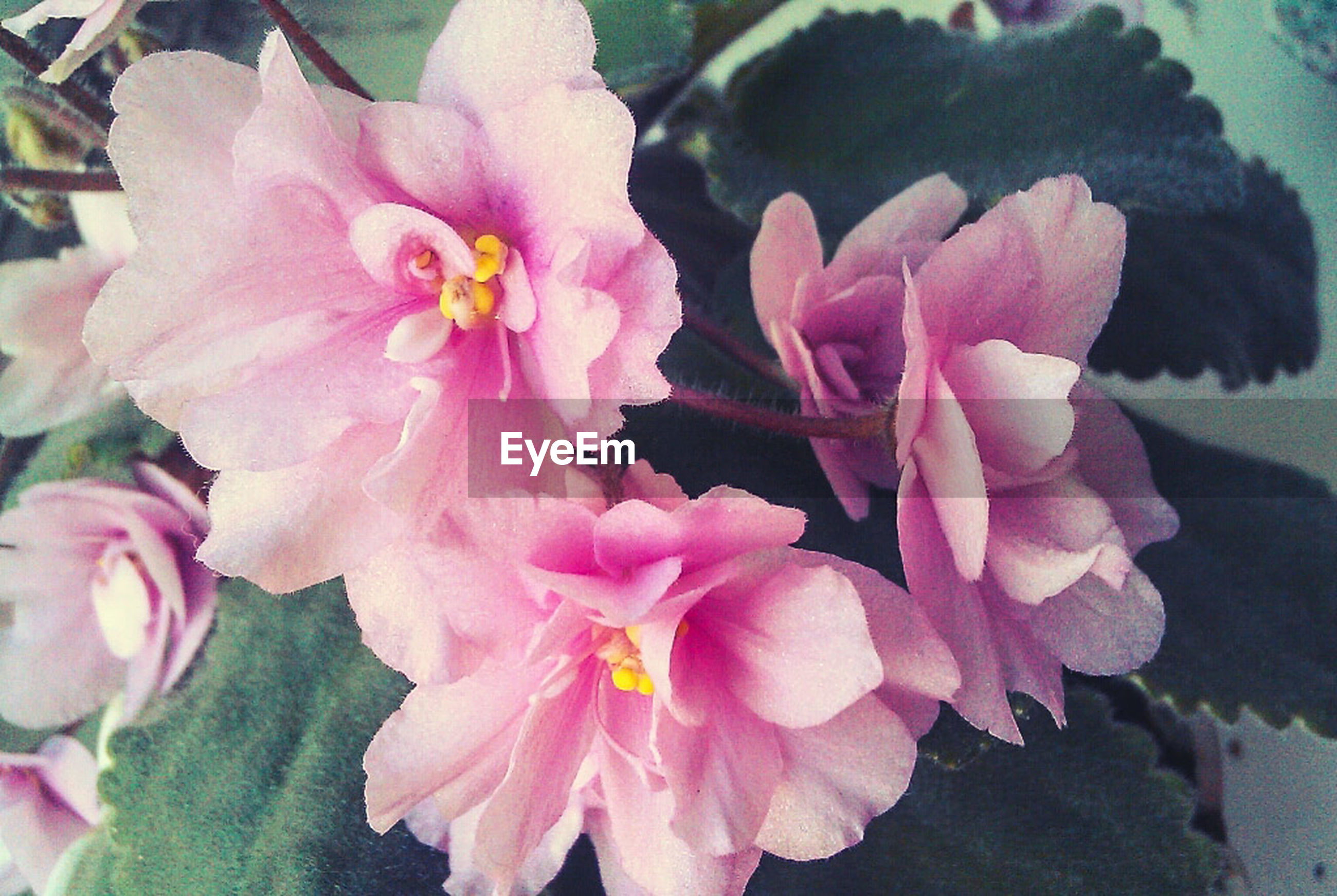 flower, petal, freshness, pink color, fragility, flower head, beauty in nature, growth, close-up, nature, blooming, plant, focus on foreground, in bloom, pink, leaf, high angle view, park - man made space, outdoors, day