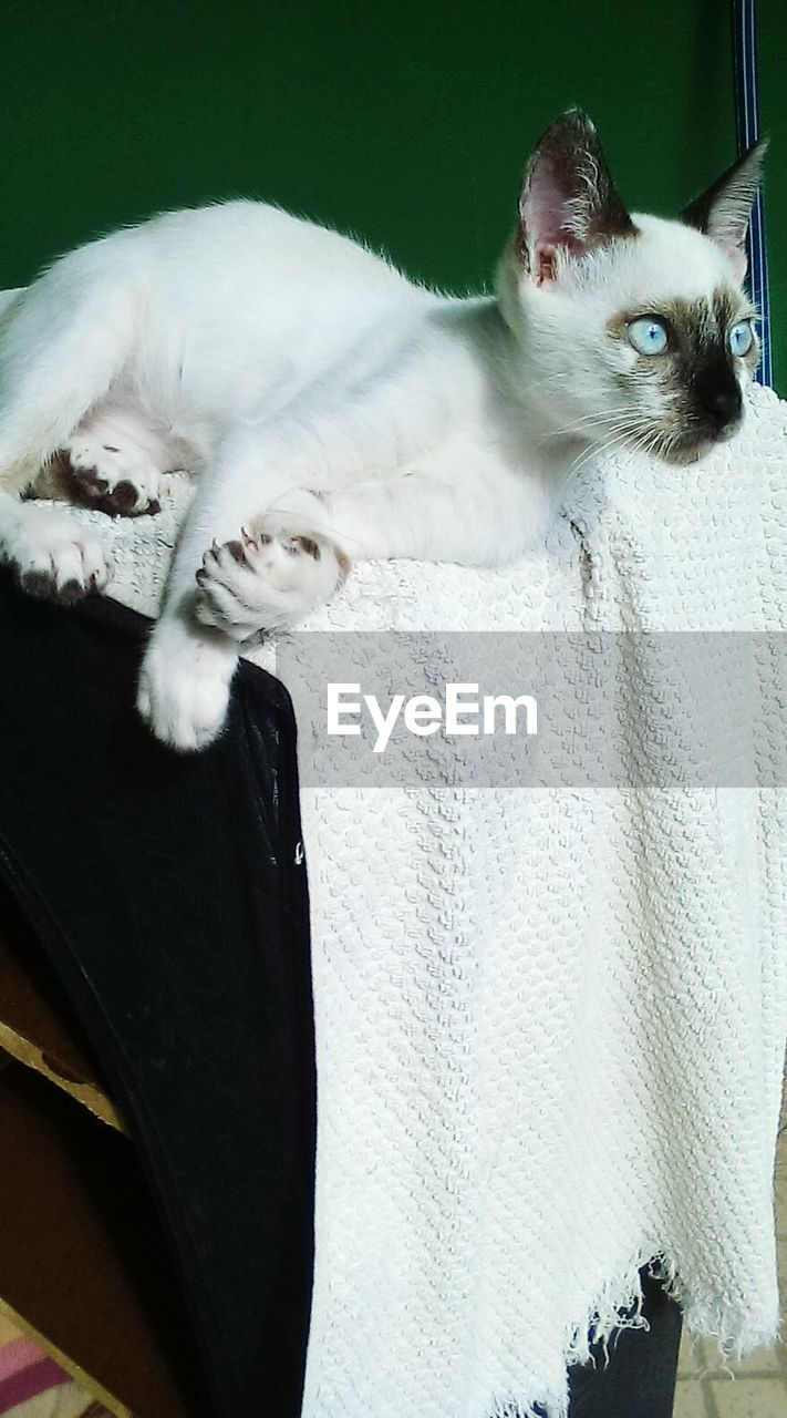 domestic cat, pets, feline, domestic animals, mammal, animal themes, cat, one animal, no people, sitting, indoors, day, siamese cat, close-up