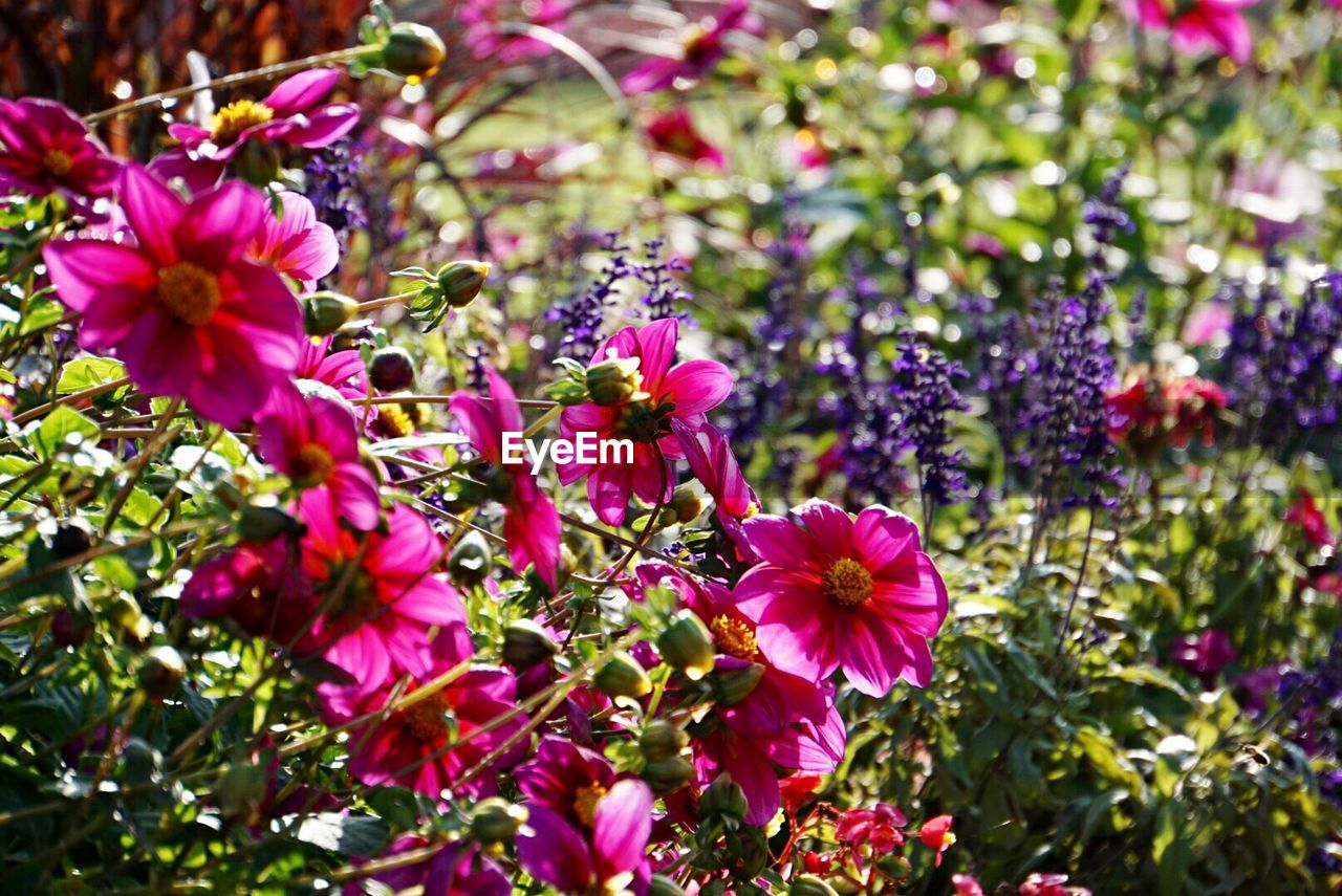 flower, growth, plant, nature, fragility, petal, purple, no people, beauty in nature, pink color, blooming, day, outdoors, freshness, flower head, close-up
