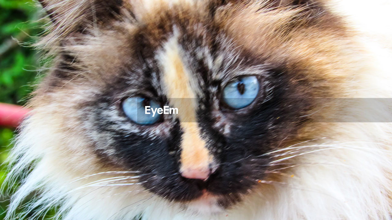 animal themes, animal, one animal, mammal, close-up, looking at camera, feline, portrait, animal body part, cat, animal head, whisker, no people, vertebrate, animal wildlife, animals in the wild, day, pets, domestic animals, focus on foreground, animal eye, yellow eyes