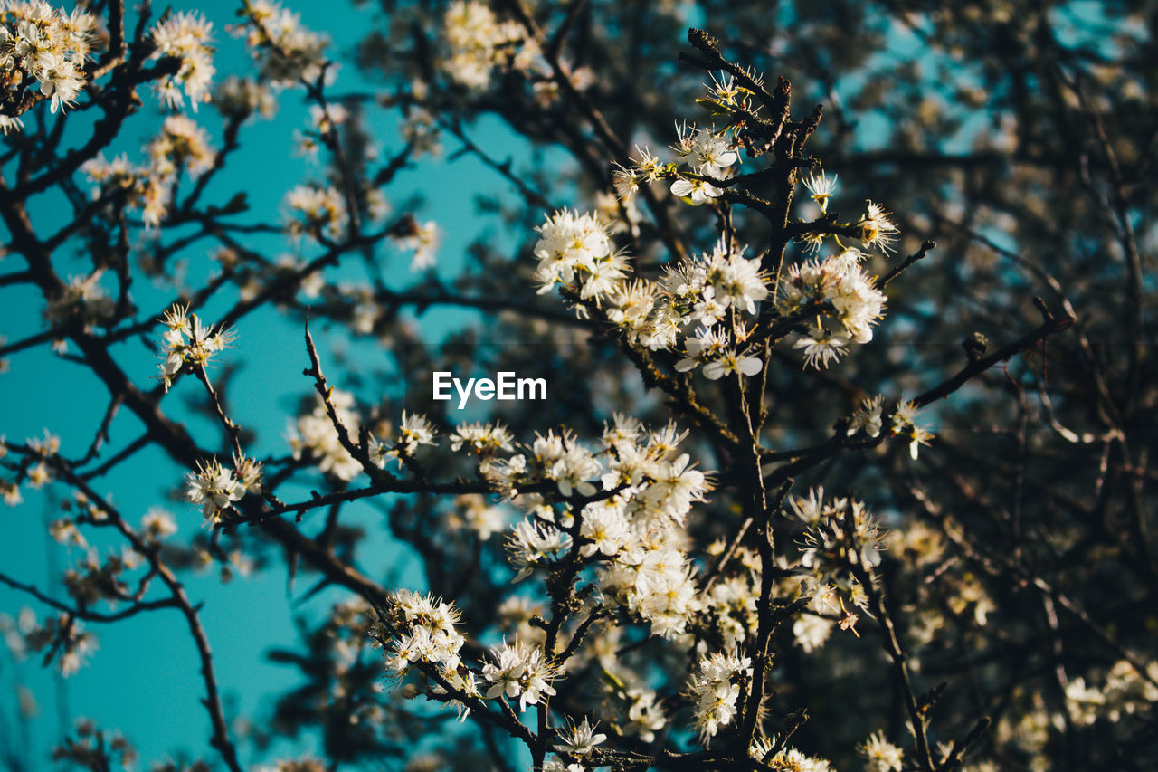 flower, fragility, nature, tree, beauty in nature, blossom, branch, freshness, growth, petal, springtime, no people, white color, botany, apple blossom, day, flower head, close-up, low angle view, selective focus, outdoors, focus on foreground, blooming