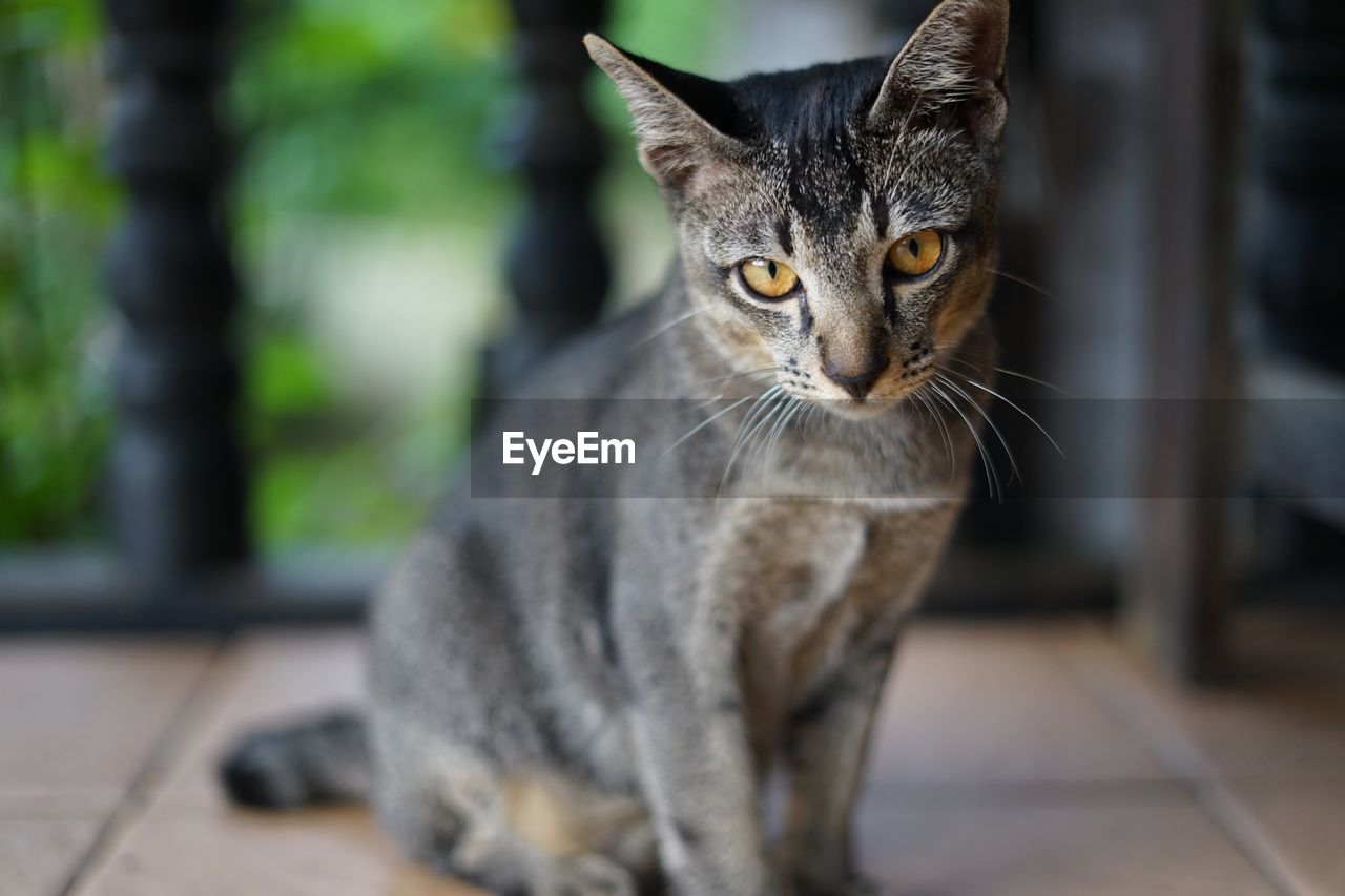 pets, domestic animals, mammal, domestic, cat, domestic cat, feline, one animal, vertebrate, focus on foreground, portrait, looking at camera, whisker, no people, looking, close-up, flooring, yellow eyes, animal eye, tabby