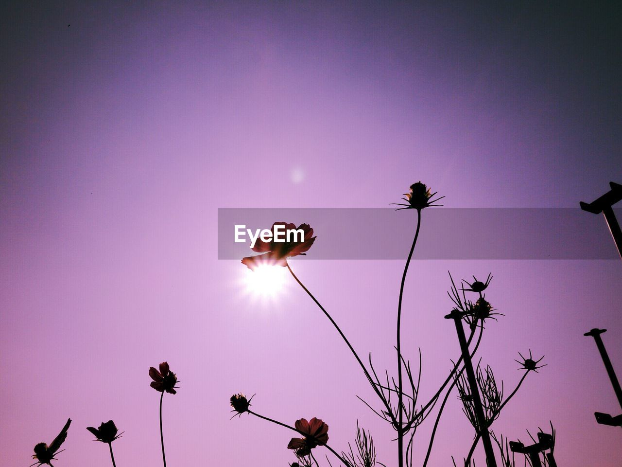 Low angle view of cosmos flower against sky