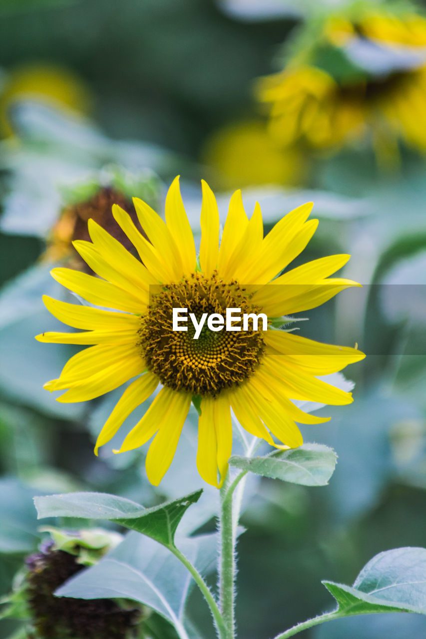 CLOSE-UP OF FRESH YELLOW SUNFLOWER BLOOMING ON FIELD