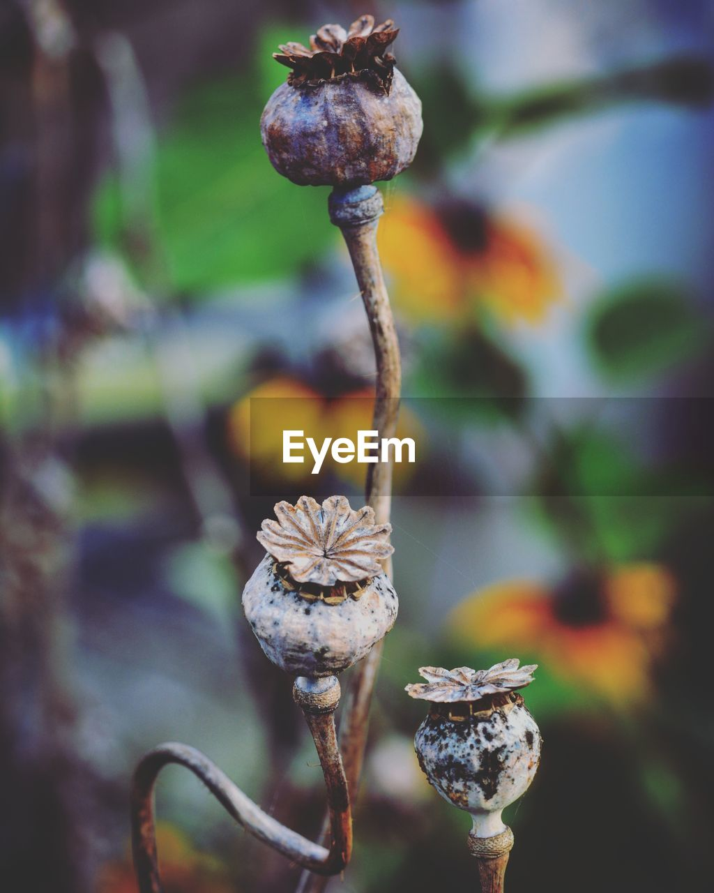 plant, close-up, focus on foreground, growth, beauty in nature, nature, flower, no people, vulnerability, flowering plant, day, fragility, freshness, outdoors, plant stem, tranquility, selective focus, poppy seed, beginnings, seed