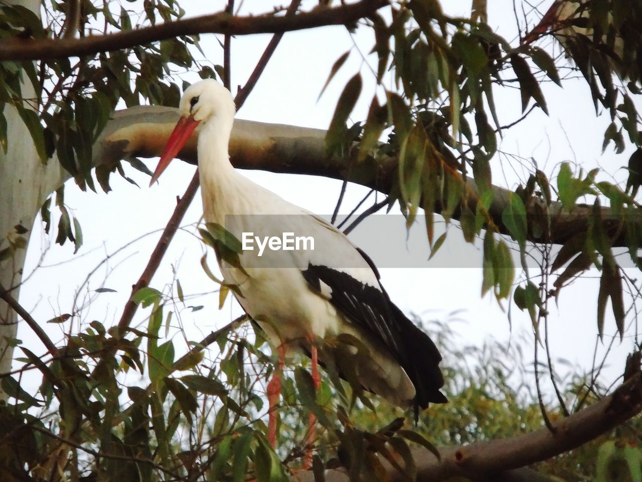 bird, tree, low angle view, animals in the wild, branch, animal themes, stork, animal wildlife, nature, one animal, beak, white stork, no people, perching, leaf, day, outdoors, beauty in nature, close-up, sky