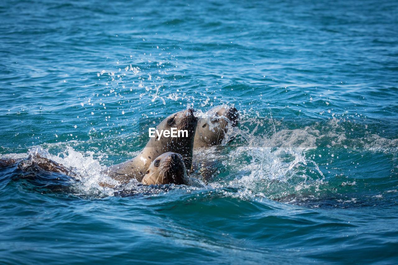 Sea lions in sea