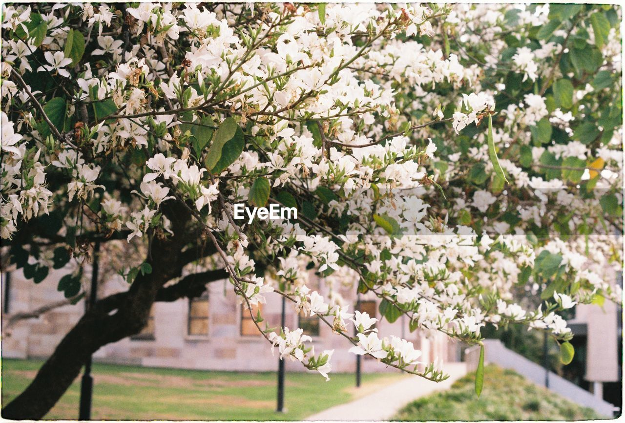 plant, flowering plant, flower, growth, tree, fragility, beauty in nature, vulnerability, freshness, branch, springtime, blossom, day, nature, white color, no people, park, cherry blossom, park - man made space, focus on foreground, outdoors, cherry tree, flower head, spring