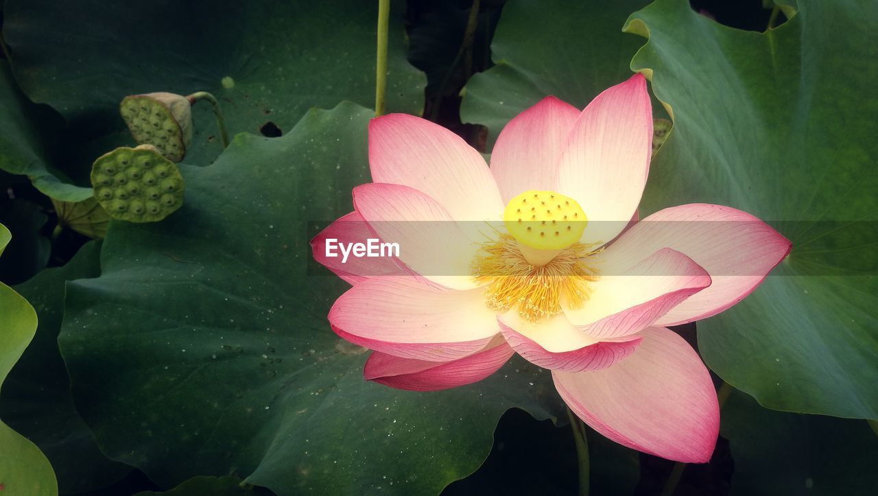 flower, petal, beauty in nature, flower head, fragility, nature, growth, pink color, freshness, leaf, plant, blooming, no people, lotus water lily, outdoors, day, water lily, close-up