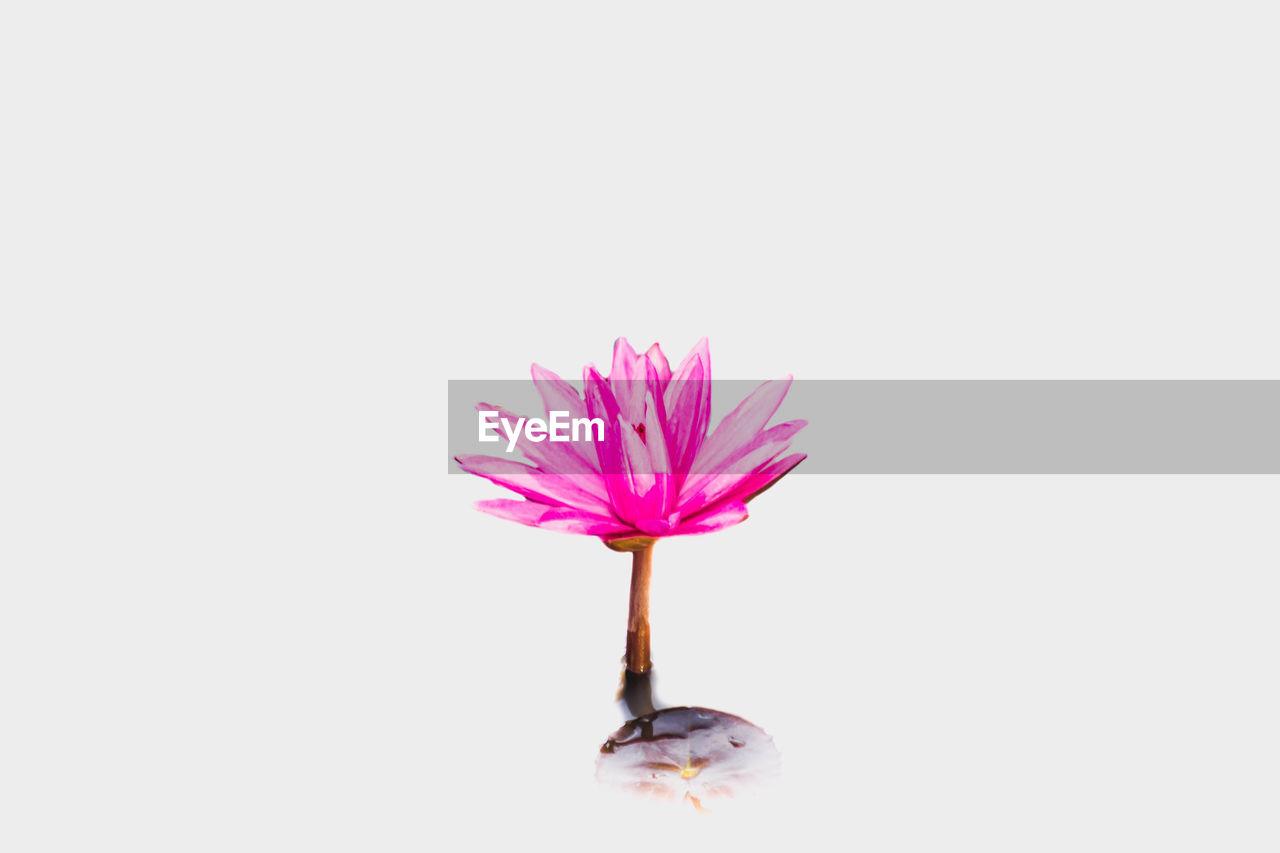 PINK FLOWER AGAINST WHITE BACKGROUND